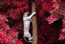 biały tygrys na tle czerwonego drzewa