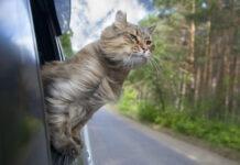kot na wakacjach wygląda przez okno samochodu