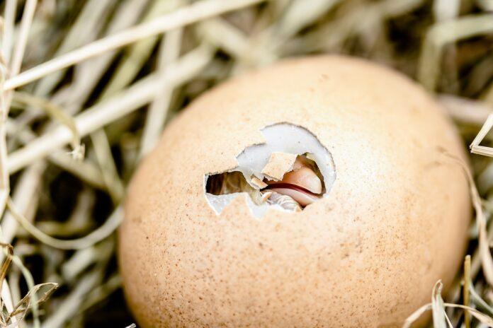 wykluwający się z jaja ptak