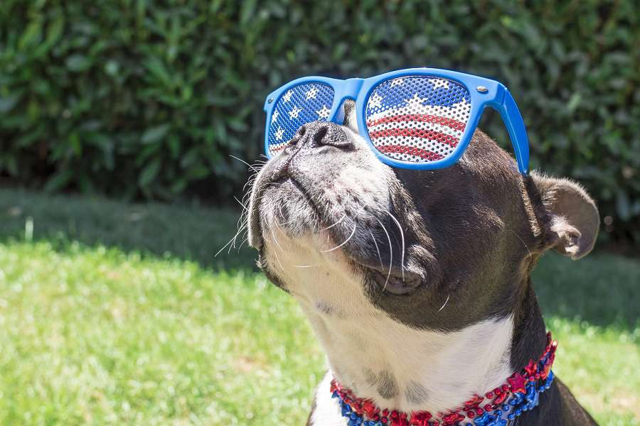 Boston-Terrier-Dog-Looking-Cute-in-Stars-and-Stripes-Flag-Sunglasses-USA-fajny-pies-shutterstock_374863090