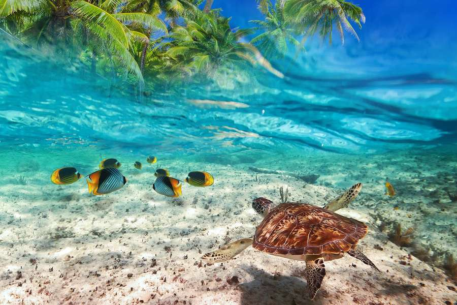 Green-turtle-swimming-at-tropical-island-of-Caribbean-Sea_shutterstock_166569026