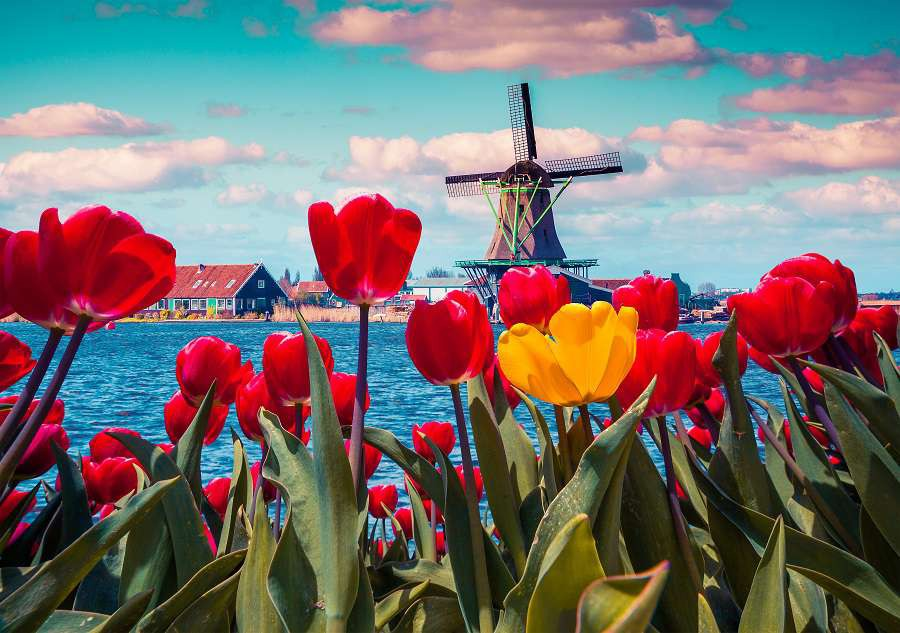 Blossom-tulips-in-the-Dutch-village-with-famous-windmills.-Spring-sunny-morning-on-the-Netherlands-canals.-Instagram-toning.-Holandia-shutterstock_352493624