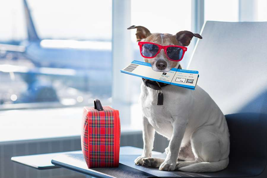 holiday-vacation-jack-russell-dog-waiting-in-airport-terminal-ready-to-board-the-airplane-or-plane-at-the-gate-luggage-or-bag-to-the-side-shutterstock_619468106